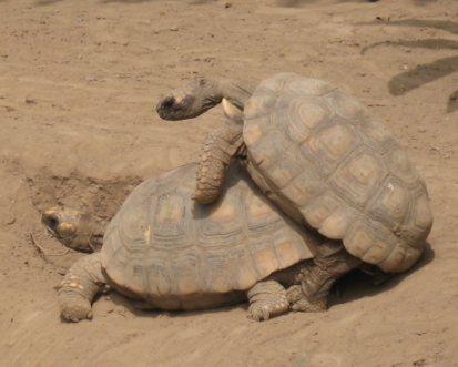 tortugas-porno.jpg