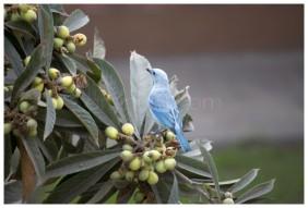 Tángara azuleja. Tomado de mi fotoblog.